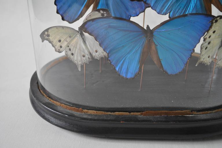 19th Century Glass Dome on Original Ebonized Base with Blue & White Butterflies 3