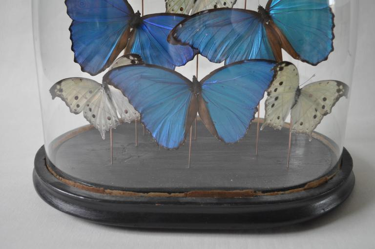 19th Century Glass Dome on Original Ebonized Base with Blue & White Butterflies 4