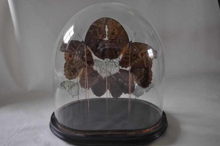19th Century Glass Dome on Original Ebonized Base with Blue & White Butterflies 5