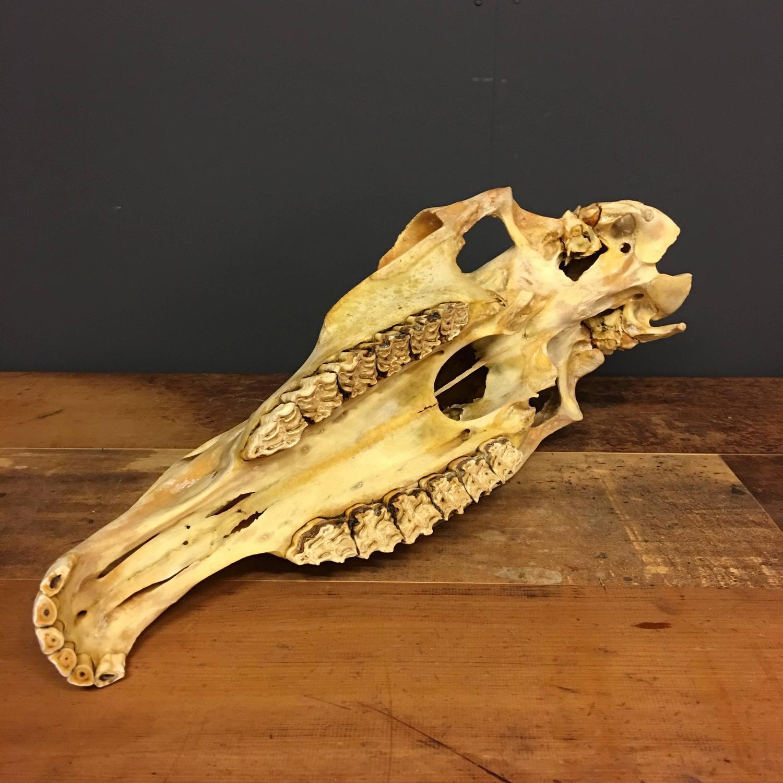 Vintage Horse Skull For Sale at 1stdibs
