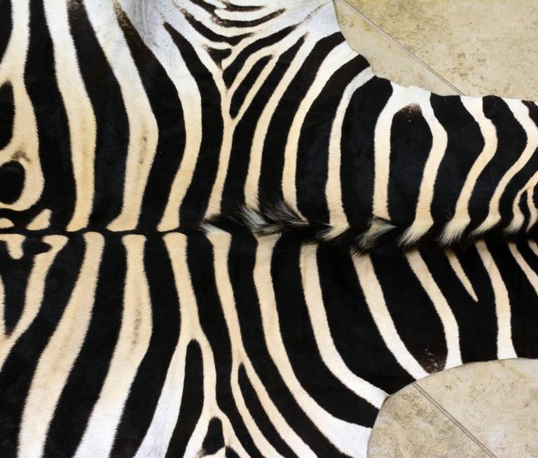 Zebra Rug Large: Large High Quality Burchell Zebra Hide Rug Well Marked And