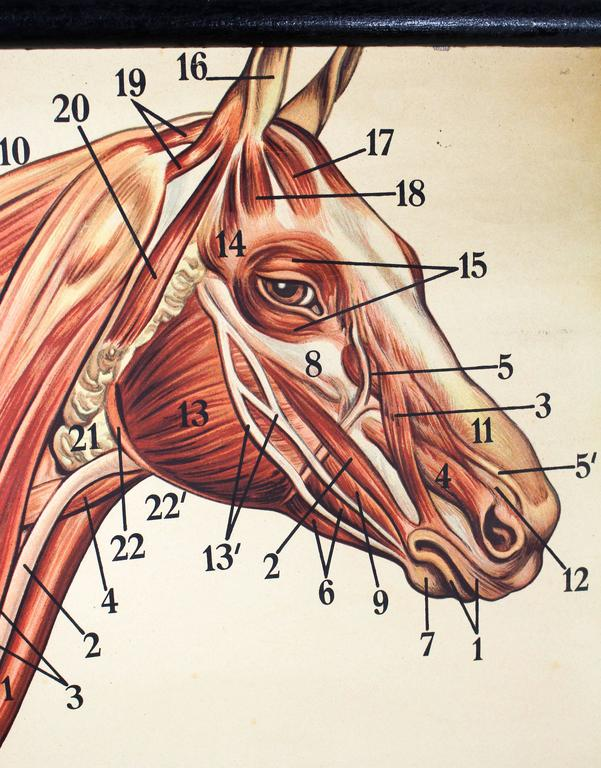 Wall Chart, Muscles on a Horse by Dr. Richard Klett, 1921 For Sale ...
