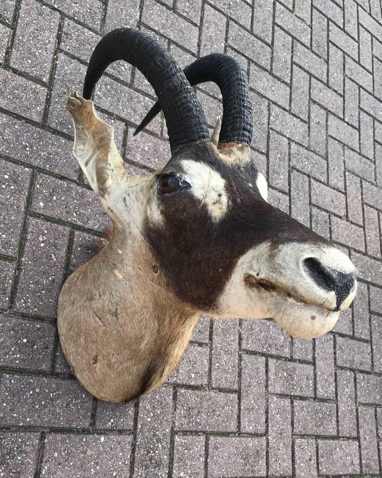 African Large Vintage Oryx Antelope Taxidermy Head for Wall Mounting For Sale