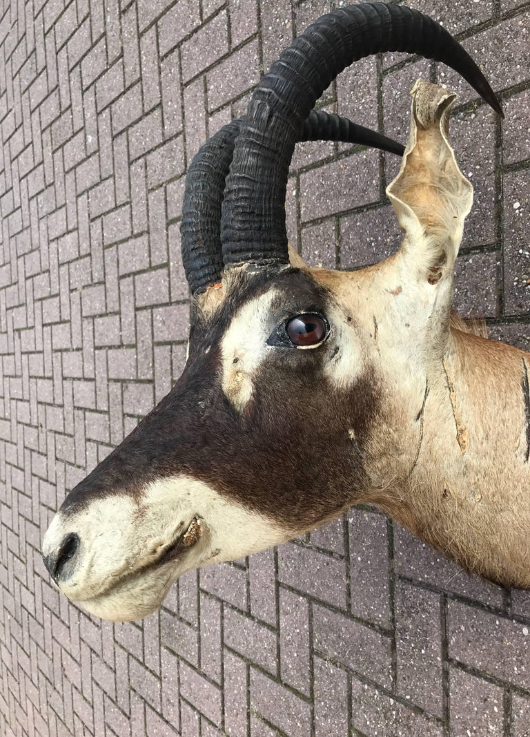 Large Vintage Oryx Antelope Taxidermy Head for Wall Mounting For Sale 3