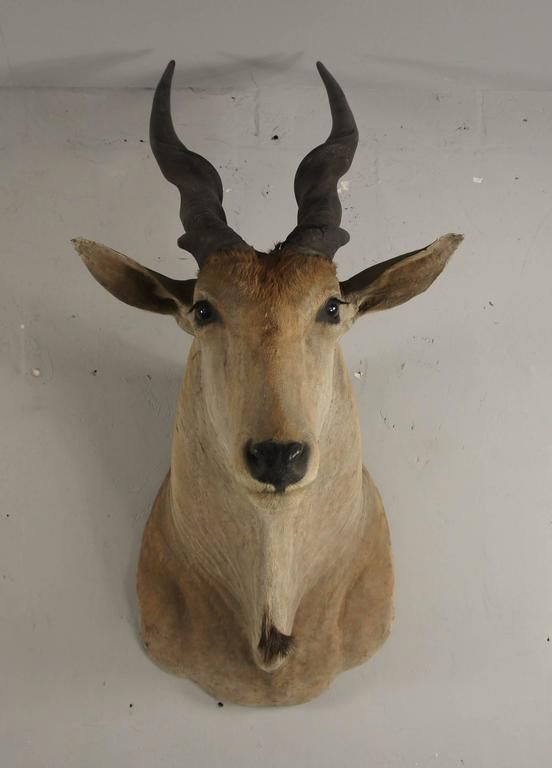 An excellent example of a giant African eland shoulder mounted on a wooden backplate measuring 62cm high x 48cm wide. He beholds a real presence in the room with antlers measuring 60cm long x 8cm circumference.