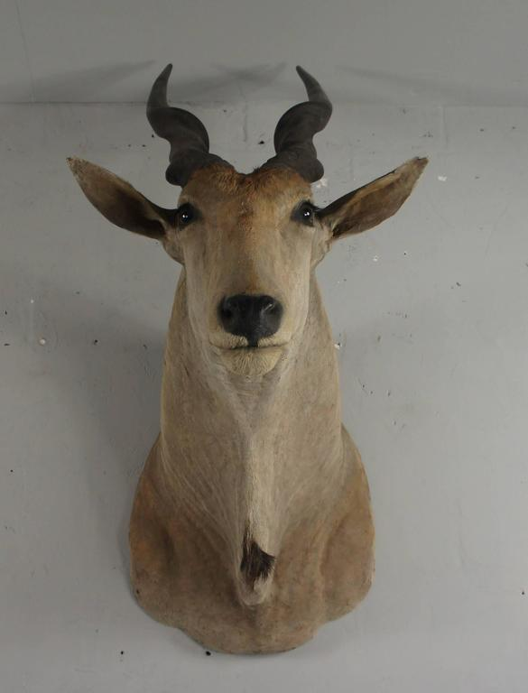 Ethiopian 20th Century Large African Giant Eland Taxidermy Shoulder Mount Antlers For Sale