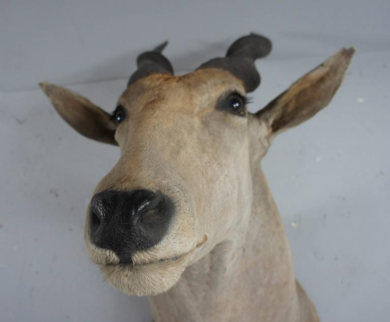 20th Century Large African Giant Eland Taxidermy Shoulder Mount Antlers In Good Condition For Sale In Culverthorpe, Lincs