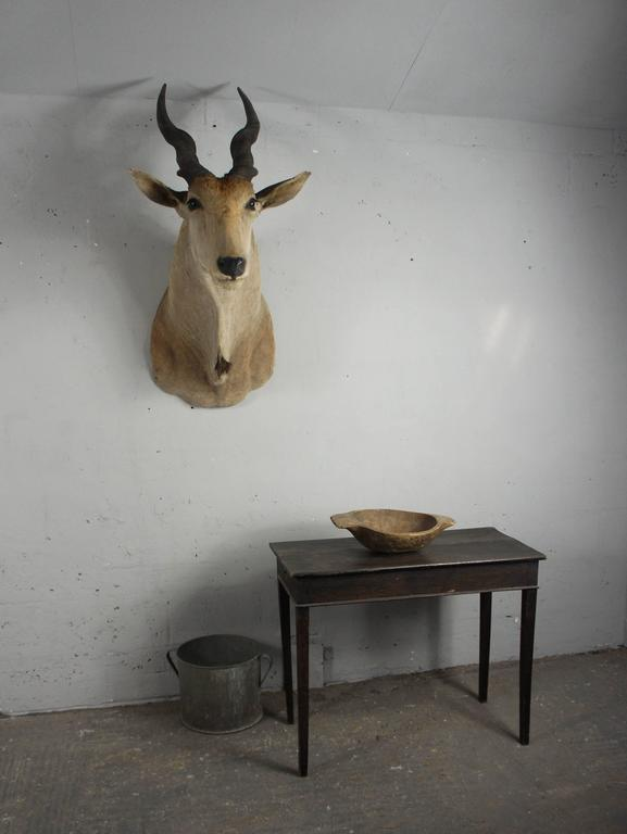 20th Century Large African Giant Eland Taxidermy Shoulder Mount Antlers For Sale 2