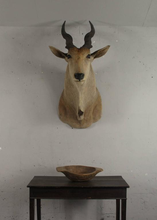 20th Century Large African Giant Eland Taxidermy Shoulder Mount Antlers For Sale 3