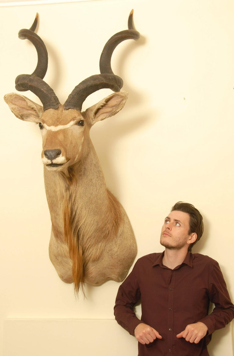 20th Century African Greater Kudu Taxidermy Head and Shoulder Mount For Sale
