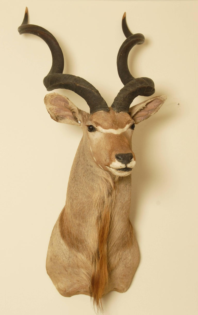 Huge and impressive African Greater Kudu taxidermy head and shoulder mount. Early 20th century, the taxidermy work is excellent. This will hang from any wall with one carefully anchored heavy duty screw fixing.