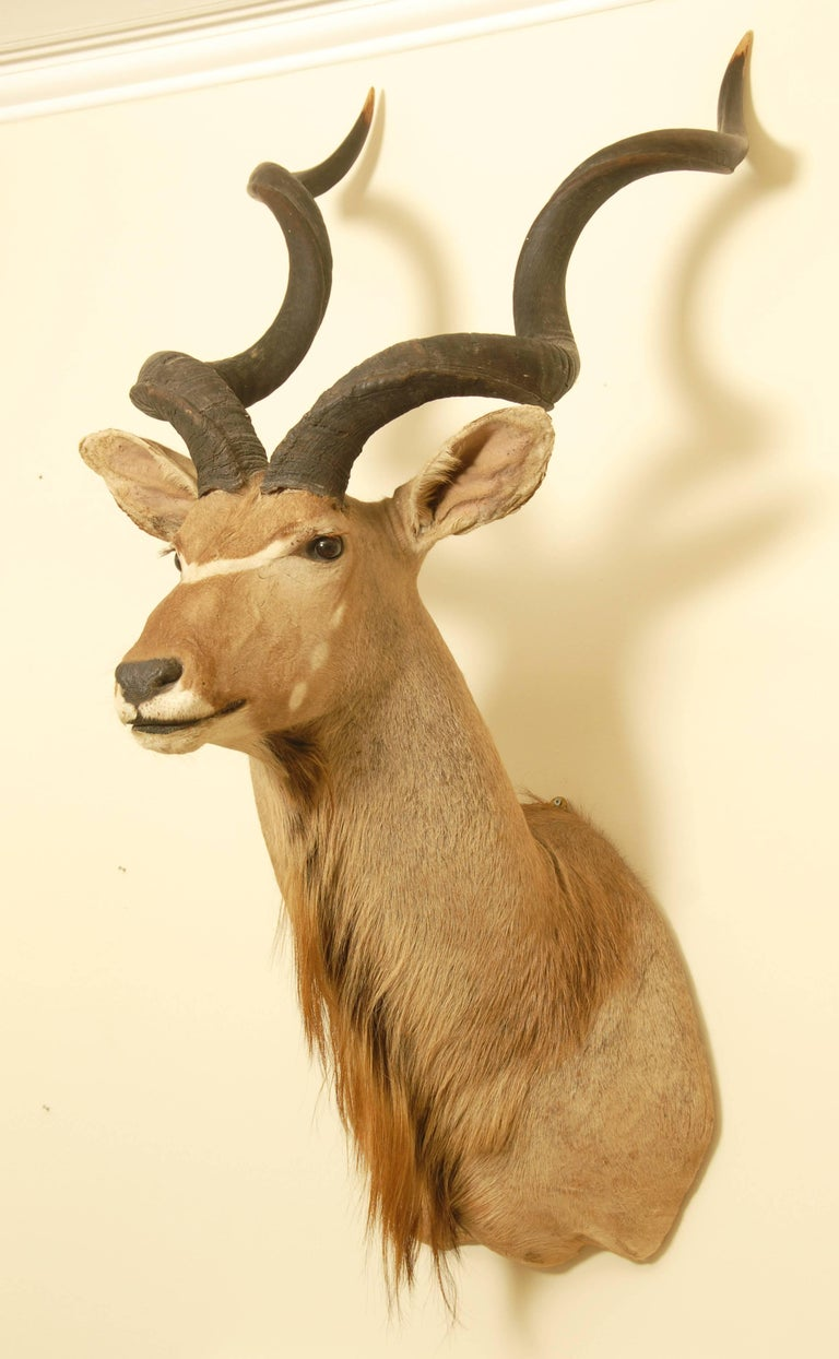 African Greater Kudu Taxidermy Head and Shoulder Mount In Good Condition For Sale In Brighton, GB