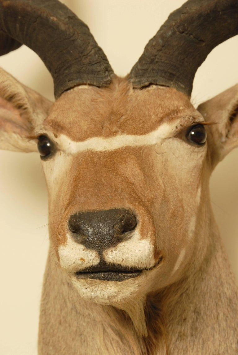 British African Greater Kudu Taxidermy Head and Shoulder Mount For Sale