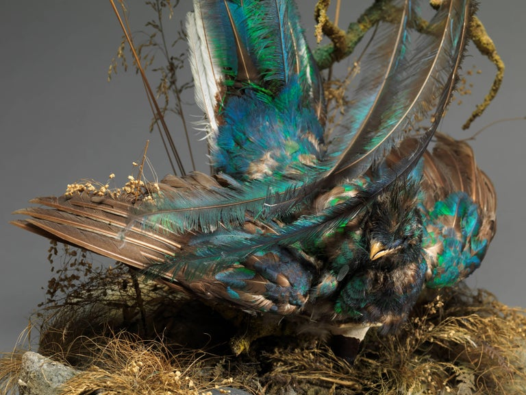 19th Century Victorian Dome of 2 Taxidermy Male Pharomachrus Mocinna 'Resplendent Quetzal' For Sale