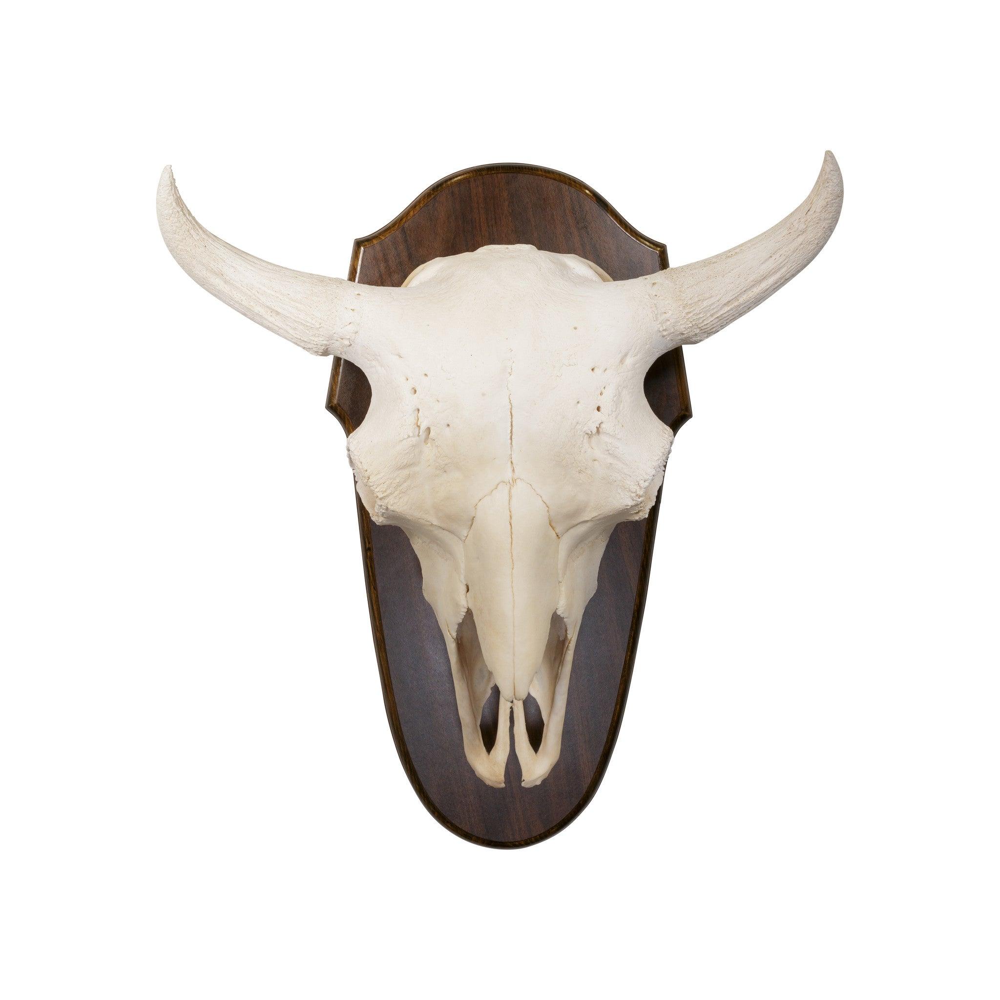 Monster Buffalo Skull Mount