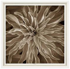 Lilium Cultivar Print