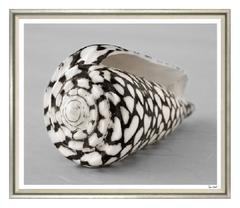 Sepia Shell Photograph