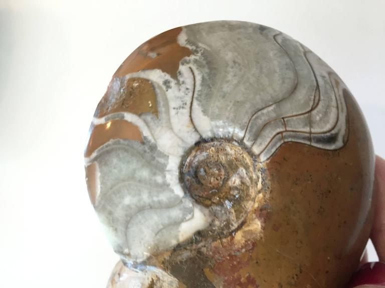 Egyptian Two Million Year Old Ammonites of a Nautilus and Crustacean For Sale