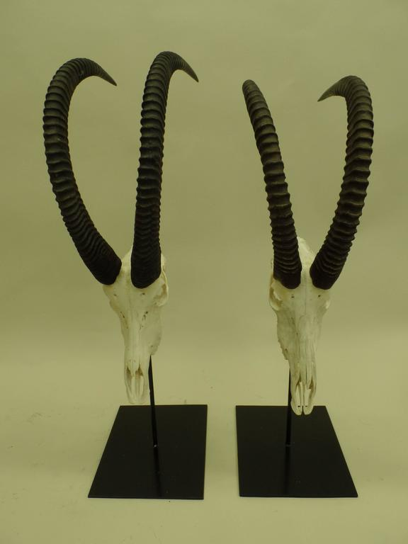 Large Pair of Sable Antelope Mounted Skulls with Curved Ringed Horns For Sale 1