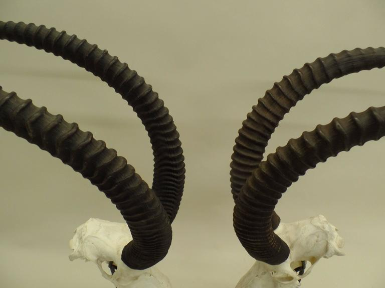 20th Century Large Pair of Sable Antelope Mounted Skulls with Curved Ringed Horns For Sale