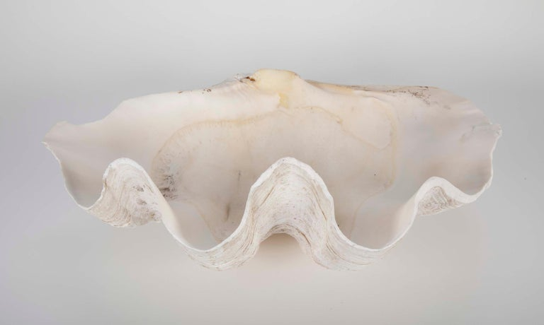 Other Giant Scalloped Clam Shell Centrepiece For Sale