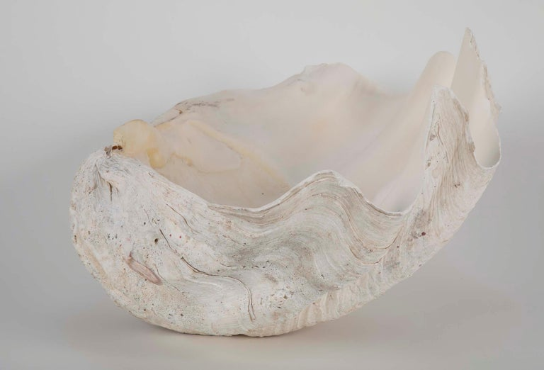 Giant Scalloped Clam Shell Centrepiece For Sale 2
