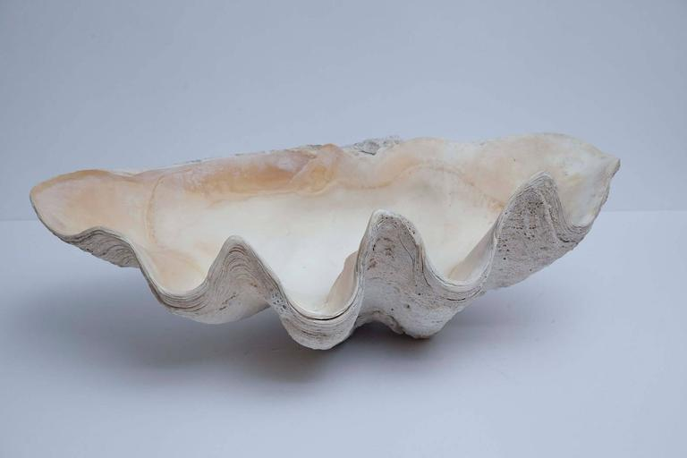 With a beauty that has inspired artists for centuries, giant natural South Pacific clam shells of this scale in such excellent condition are rare to find. Superior size, color and condition.