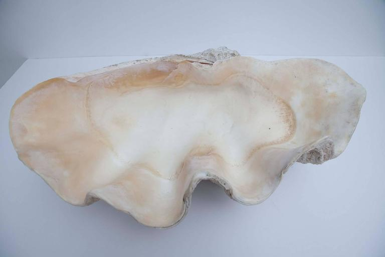 Cook Islands Giant South Pacific Tridacna Gigas Clam Shell For Sale
