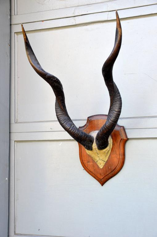 Primitive Large Set of Mounted African Antlers For Sale
