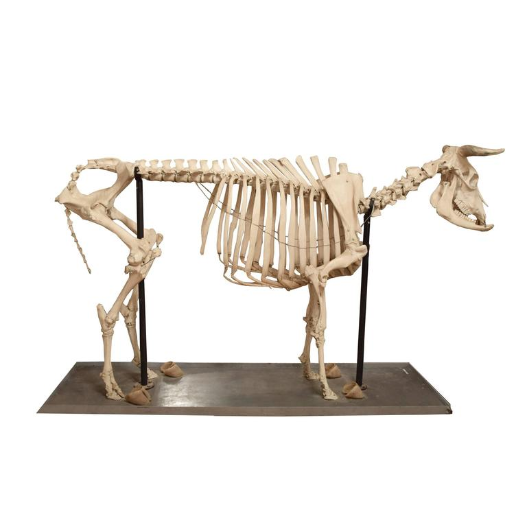 Scientific Anatomical Model of a Cow Skeleton