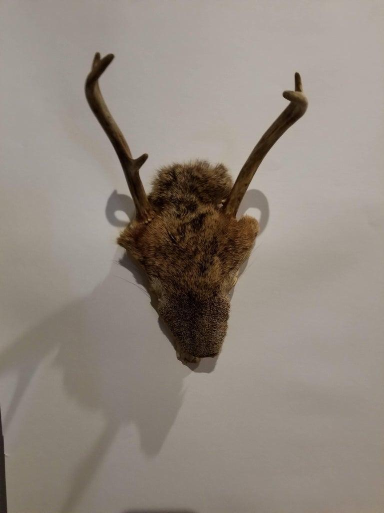 Pair of Deer Taxidermy Antlers 2