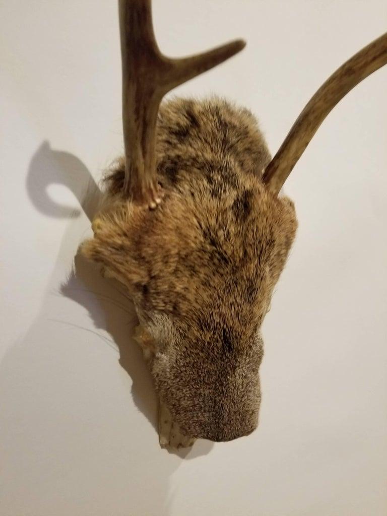 Pair of Deer Taxidermy Antlers 3