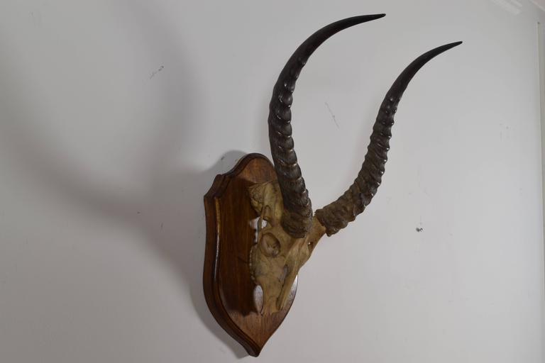 African Impala Horn and Partial Skull Mount, 1st Quarter 20th Century In Excellent Condition For Sale In Atlanta, GA
