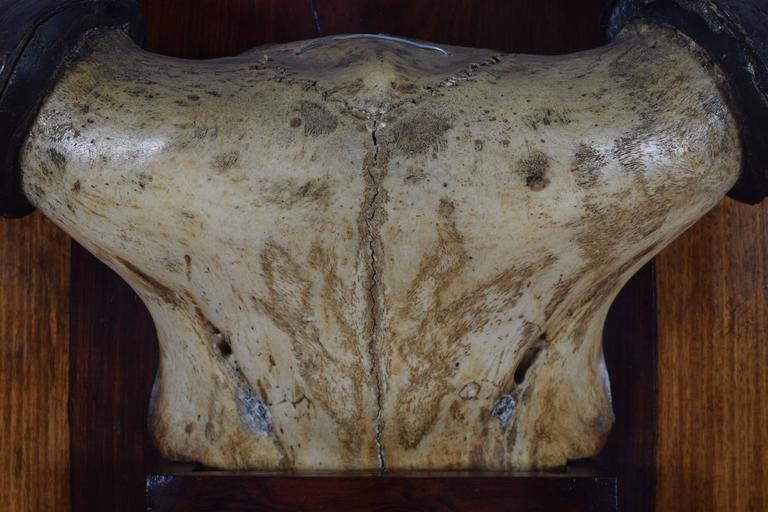 French Bovine Horn and Partial Skull Mount, 1st Quarter 20th Century In Excellent Condition For Sale In Atlanta, GA