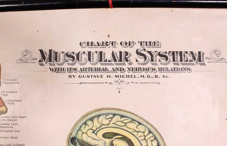Antique Chart of The Muscular System by Gustave H. Michel For Sale 3
