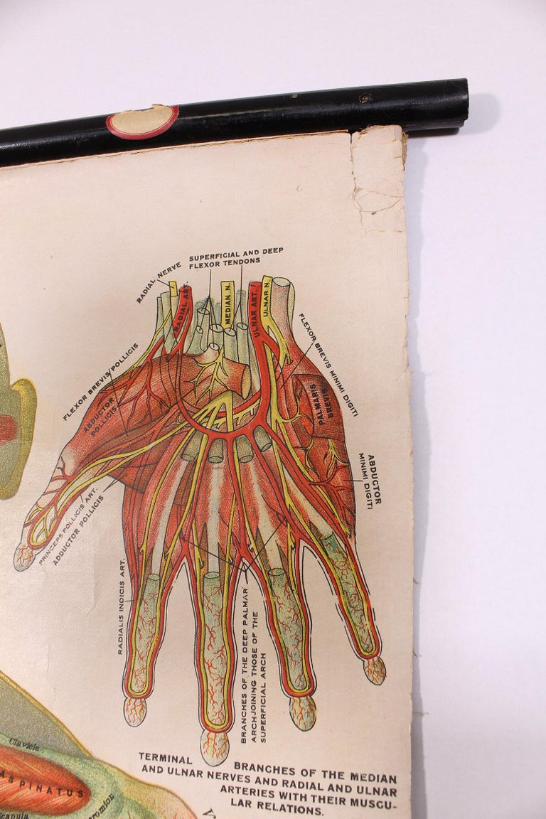 Antique Chart of The Muscular System by Gustave H. Michel For Sale 2