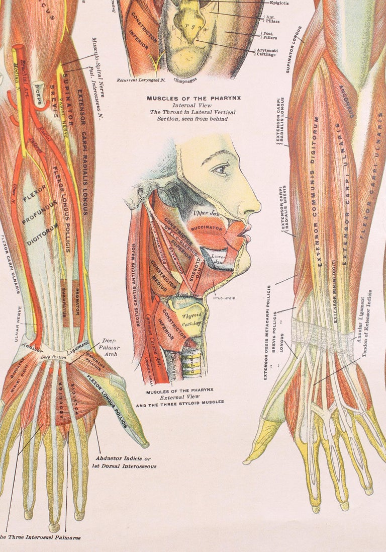 American Antique Chart of The Muscular System by Gustave H. Michel For Sale