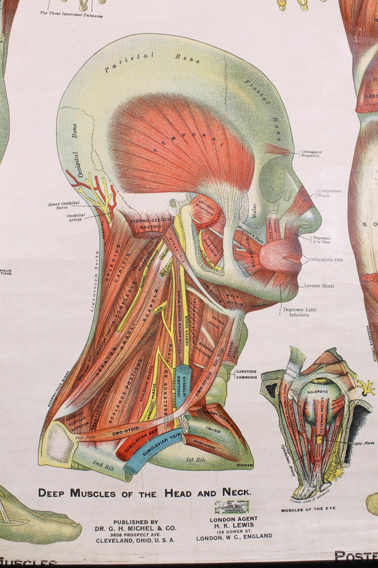 Industrial Antique Chart of The Muscular System by Gustave H. Michel For Sale