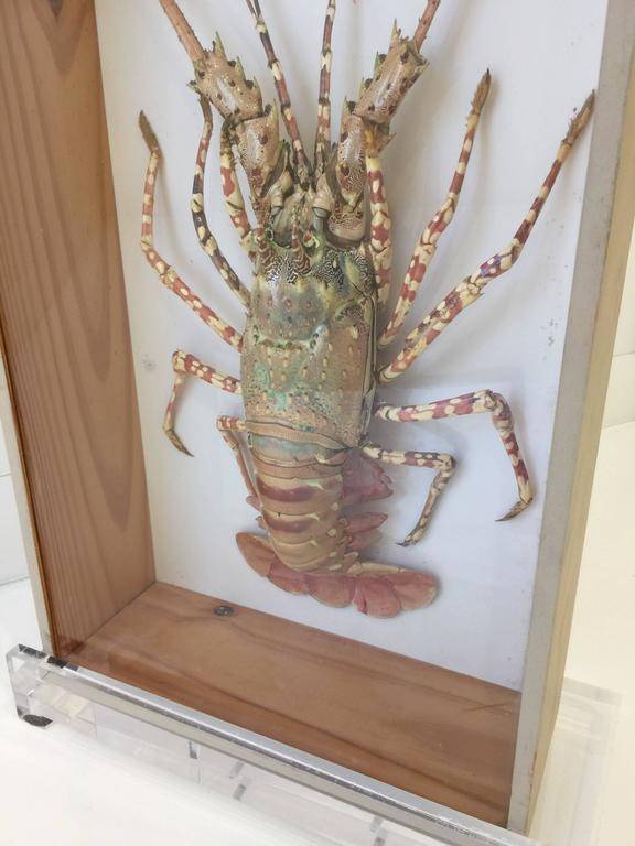 This vintage taxidermy lobster with great coloring and preserved beautifully in a shadow box. This is sold together with the custom lucite table top easel.
