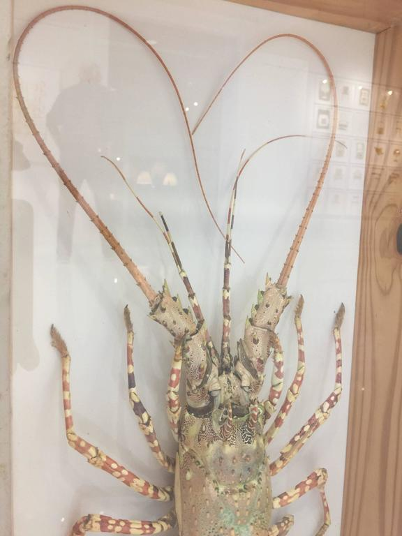 Tiger Lobster Taxidermy Encased in Box, Mounted on Custom Lucite Easel For Sale 2