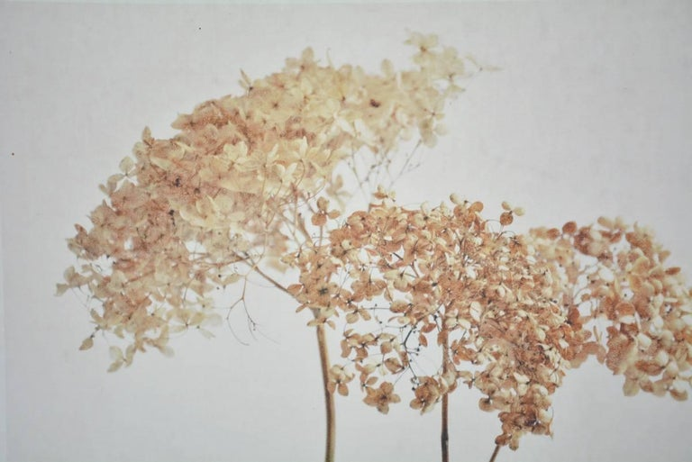 Caroline Kaars Sypesteyn of Berkshire Artisanal is the artist who has created this brown photographic print on linen of dried hydrangeas. Titled