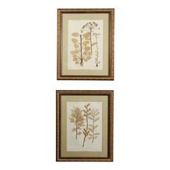 "Pair of Gilt Framed ""Ettingshausen"" Nature Prints, 19th Century, Austria"