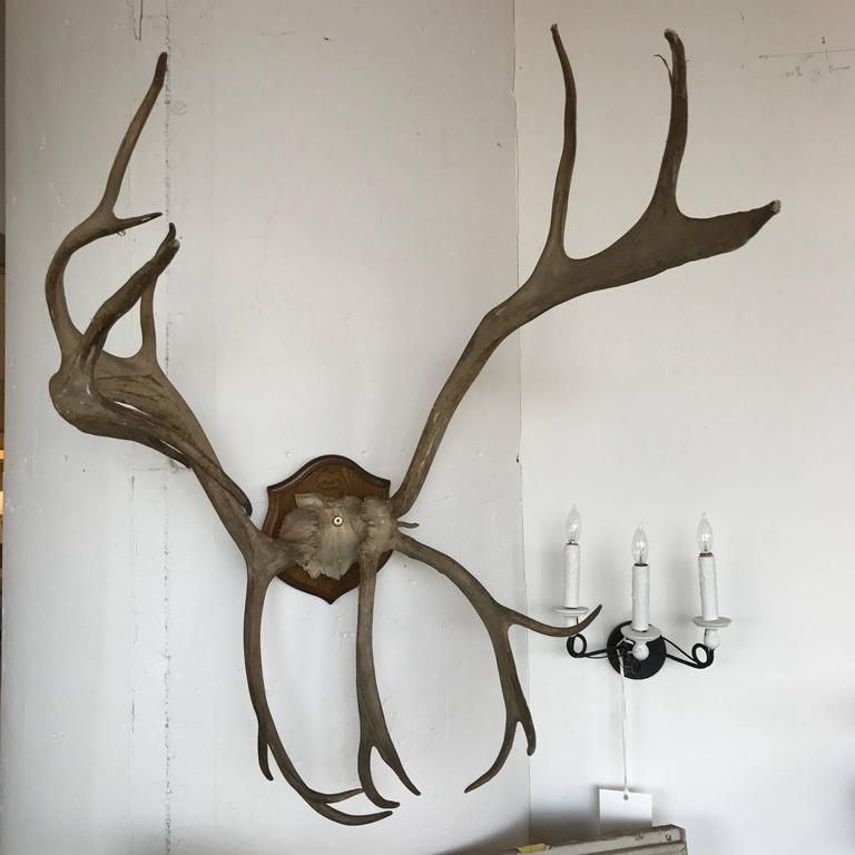 19th Century Mounted Antlers 2