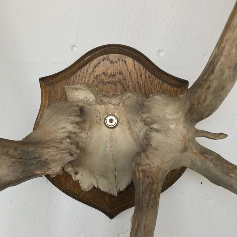 19th Century Mounted Antlers 5
