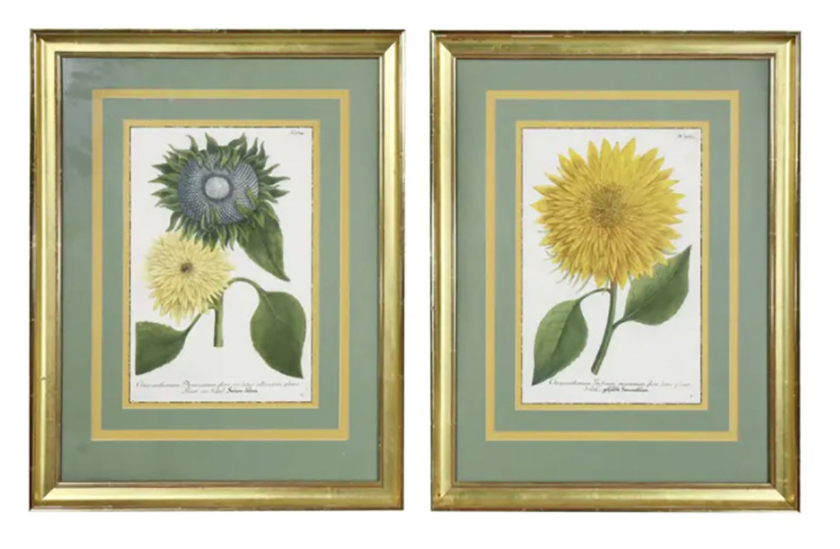 Set of Four Hand Colored Botanical Engravings of Sunflowers