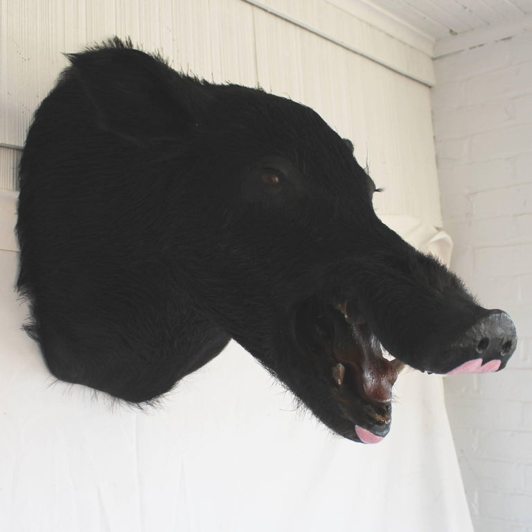 Taxidermy Boar's Head Mount 3