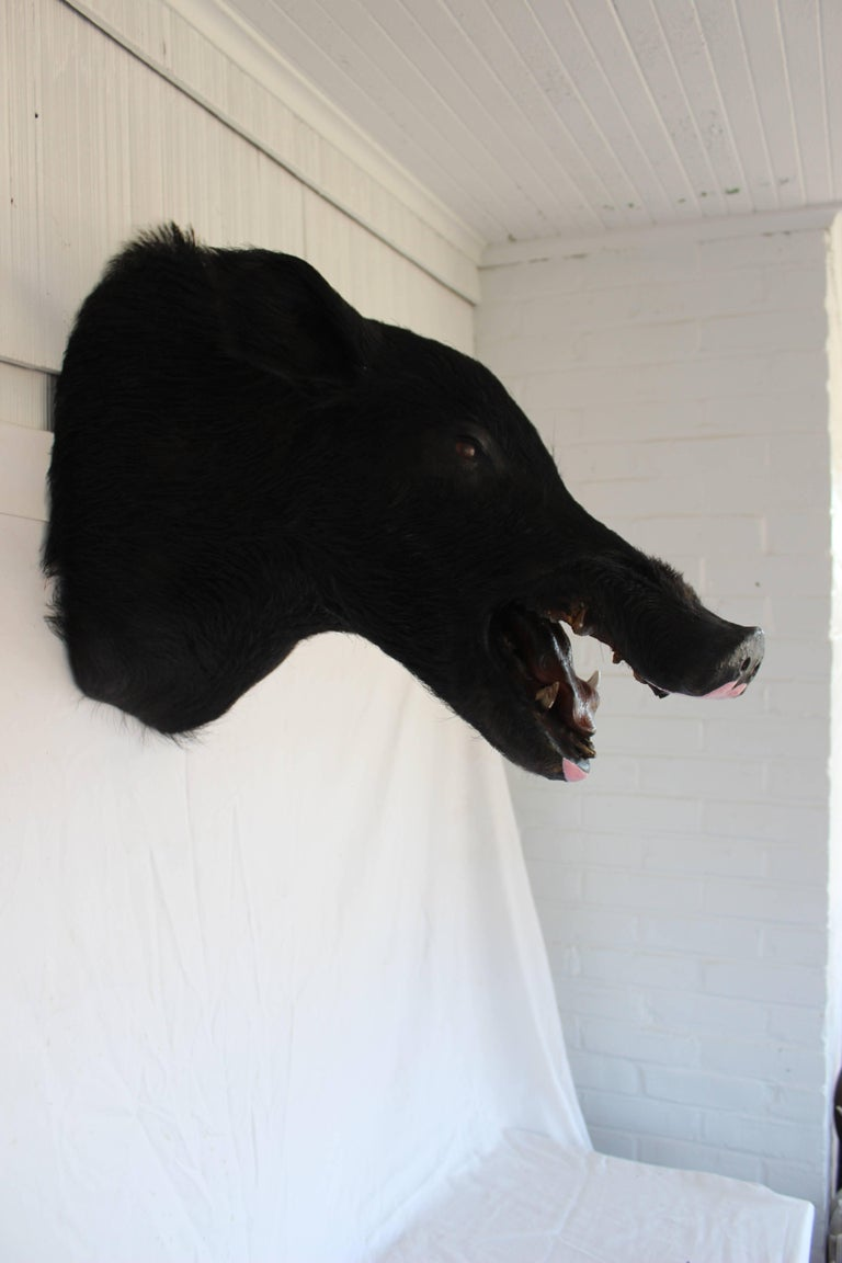 Taxidermy Boar's Head Mount 6