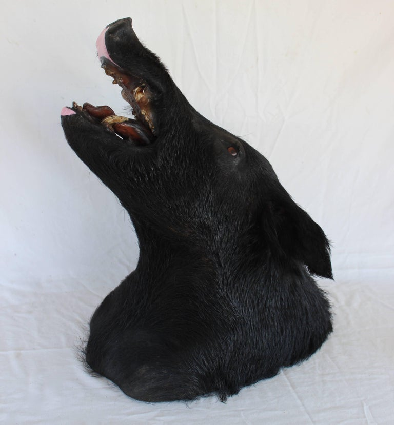 Taxidermy Boar's Head Mount 7