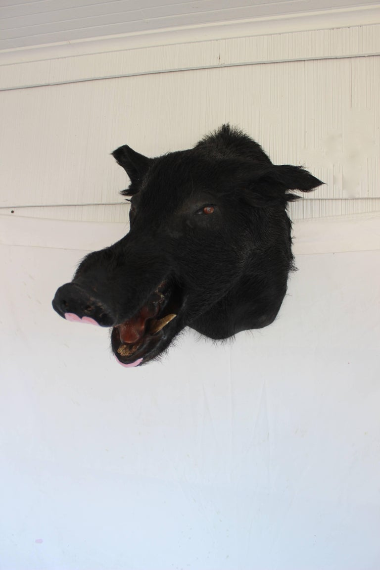 Taxidermy Boar's Head Mount 5