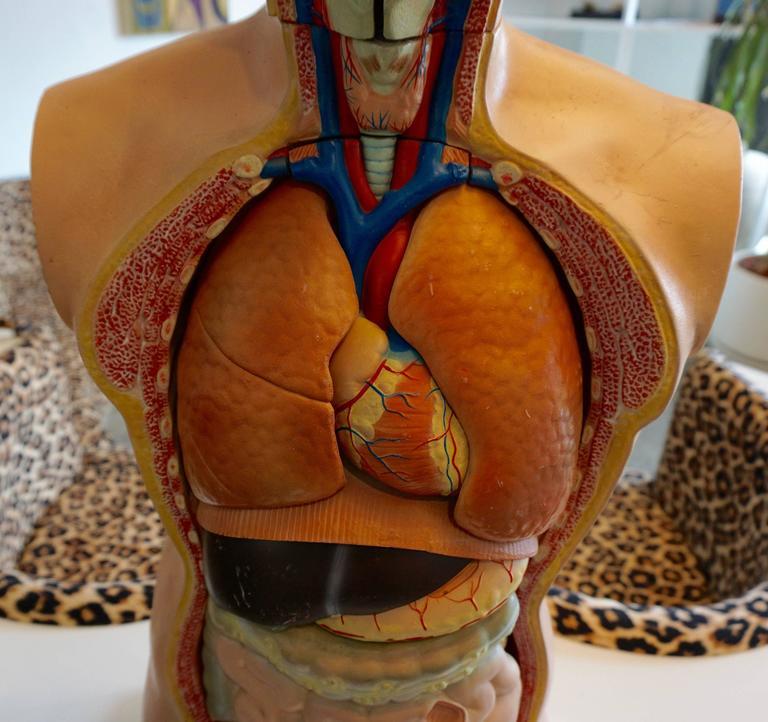 Male Anatomical Torso 4
